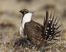 Sage Grouse, Pronghorn Antelope and Fences: Greater Sage Grouse, Courtesy US FWS, images.fws.gov, Stephen Ting, Photographer