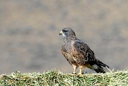 Swainson's Hawk, (Buteo swainsoni), Photo Courtesy US FWS
