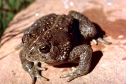 Click to view larger image of Woodhouse's toad, Photo Courtesy US FWS, Gary M. Stolz, Photographer