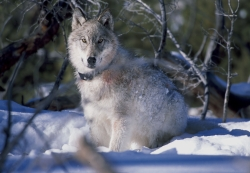 Wolf with Radio Collar watches biologists FWS Digital Library, Photo by William Campbell