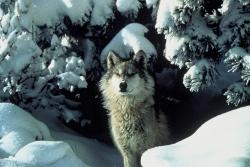 Who's Afraid of the Big Bad Wolf: Yellowstone Gray Wolf, Photo Courtesy US FWS. Tracy Brooks, Photographer