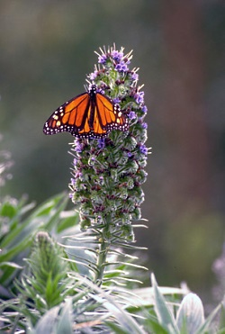 Monarch Butterfly, Courtesy Utah Division of Wildlife Resources, J. Kirk Gardner, Photographer