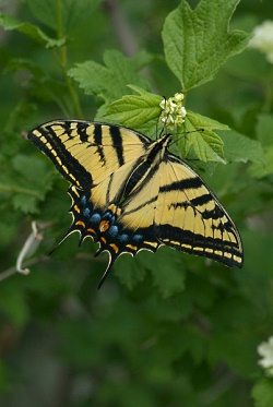 Click for a closer view of a Tiger Swallowtail Butterfly, Courtesy Utah Division of Wildlife Resources, J. Kirk Gardner, Photographer