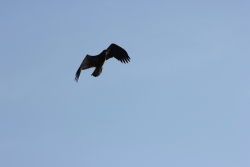 flying immature Bald Eagle, Courtesy & Copyright 2011 Terry Greene, Photographer