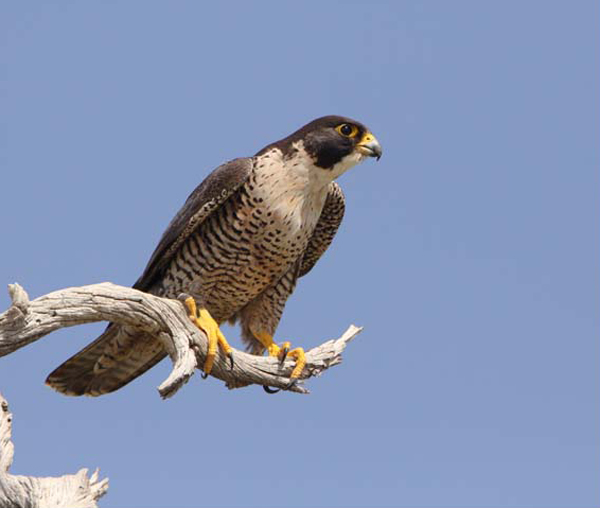 Peregrine Falcons: Fierce predators rescued from the abyss: Falco peregrinus, Tooele County, Utah, 21 Jun 2009. Photo Courtesy & Copyright Kent R. Keller and found on utahbirds.org