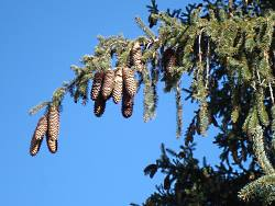 Norway Spruce Cones