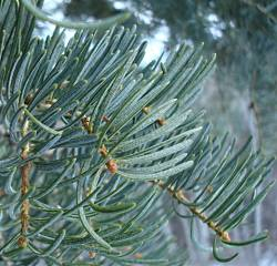 True Fir Needles