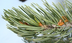 Two-needle Pinion Pine