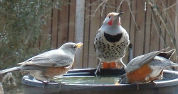 Click for more a larger view of a Northern Flicker and two American Robins at a bird bath.  Courtesy and Copyright 2012 Linda Kervin, Photographer