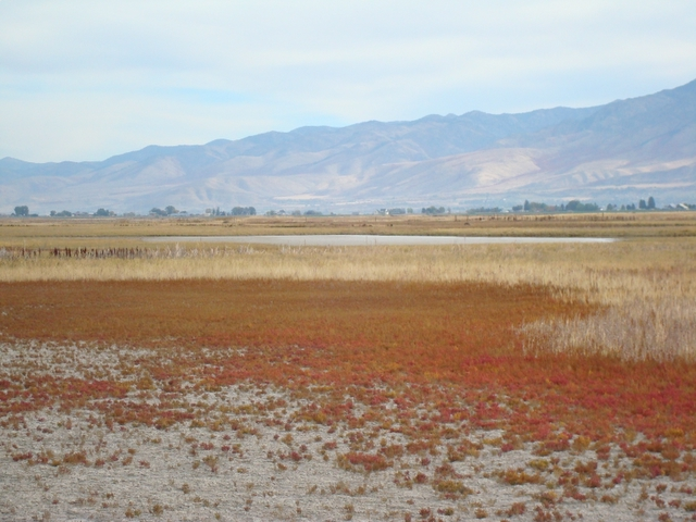 Click for a closer view of Pickleweed in Cache Valley, Courtesy and Copyright 2010 Linda Kervin