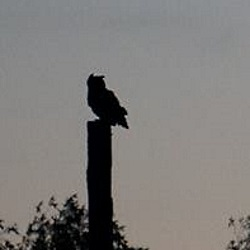 Wildlife dispersal in late summer: Click to view larger image of Adult great-horned owl perched at dusk, hunting for its young, Photo Courtesy and Copyright Mark Larese-Casanova