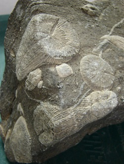 Fossil Formation: Horn Corals from Logan Canyon, Courtesy and copyright 2008 Stokes Nature Center, logannature.org