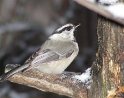 Click to view the Mountain Chickadee, courtesy and copyright Stephen Peterson