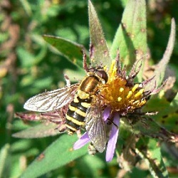 American Hoverfly, Courtesy National Park Service, nps.gov/long/naturescience/insects.htm