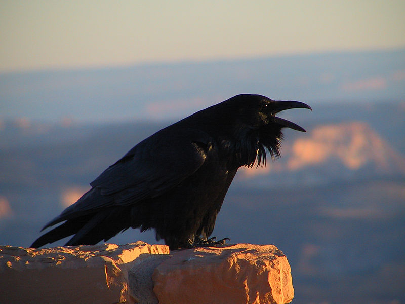 Language of Ravens: Ravens in Bryce Canyon National Park