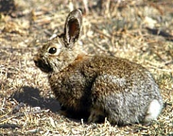 Snowshoe Hare summer coat image courtesy US National Parks Service