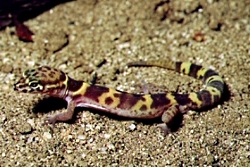 Herps: Western Banded Gecko, Courtesy NPS