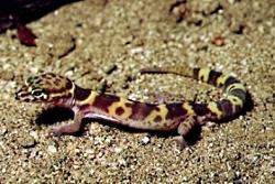 Western Banded Gecko, Courtesy NPS