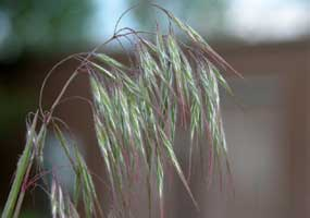 Click to view an article about cheatgrass, Photo Photo Courtesy NPS, Photographer Tom Heutte, USDA Forest Service, Bugwood.org