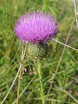 Tall Thistle (Cirsium altissimum), Photo Courtesy NPS, Kelly Manktelow, Photographer