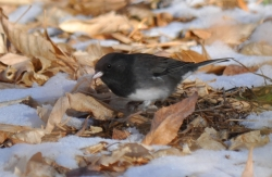 Click for a larger view of a Dark-eyed 'Cassiar' Junco, Junco hyemalis cismontanus, Courtesy and copyright 2011 Ryan P. O'Donnell