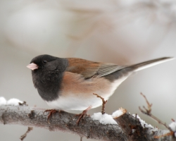 Seasonal Changes, Amazing Adaptations: Click for a larger view of a Dark-eyed 'Oregon' Junco Male, Junco hyemalis montanus, Courtesy and copyright 2008 Ryan P. O'Donnell