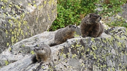 Yellow-bellied Marmots, Photo courtesy and copyright Roslynn Brain, Photographer