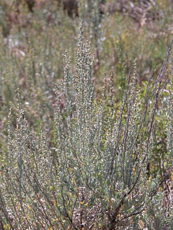 Wind and Sagebrush: Mountain big sagebrush (Artemisia tridentata subsp. Vaseyana) in flower - Photo Courtesy and Copyright Dr. Leila Shultz