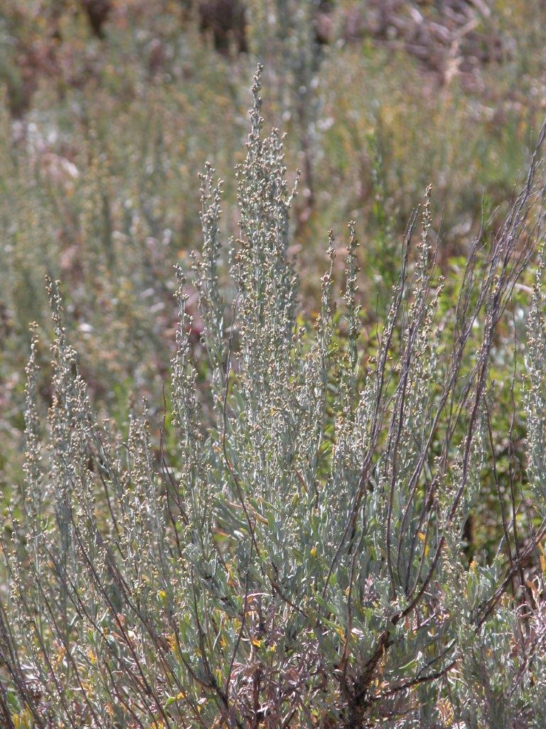 Wind And Sagebrush Mountain Artemisia Tridentata Subsp Vaseyana In Flower