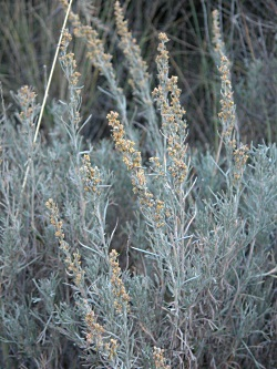 Wind and Sagebrush:Three-tip sage (Artemisia tripartite) with visible yellow flowers. - Photo Courtesy and Copyright Dr. Leila Shultz