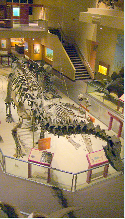Utah at the Smithsonian: Camarasaurus, Camarasaurus lentus (Marsh), Courtesy http://www.nmnh.si.edu/, Michael Brett Surman, Photographer