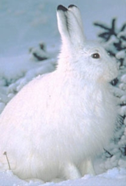 Snowshoe Hare winter coat image courtesy US Forest Service http://www.fs.fed.us