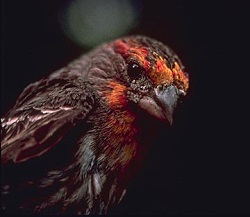 Male House Finch, Courtesy Utah Division of Wildlife Resources, Photographer Unknown