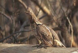 Ruffed Grouse and the Christmas Bird Count: Ruffed Grouse, Bonasa umbellus