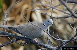 Eurasian Collared Dove, Courtesy invasivespecies.org, Joy Viola, Northwestern University, Photographer