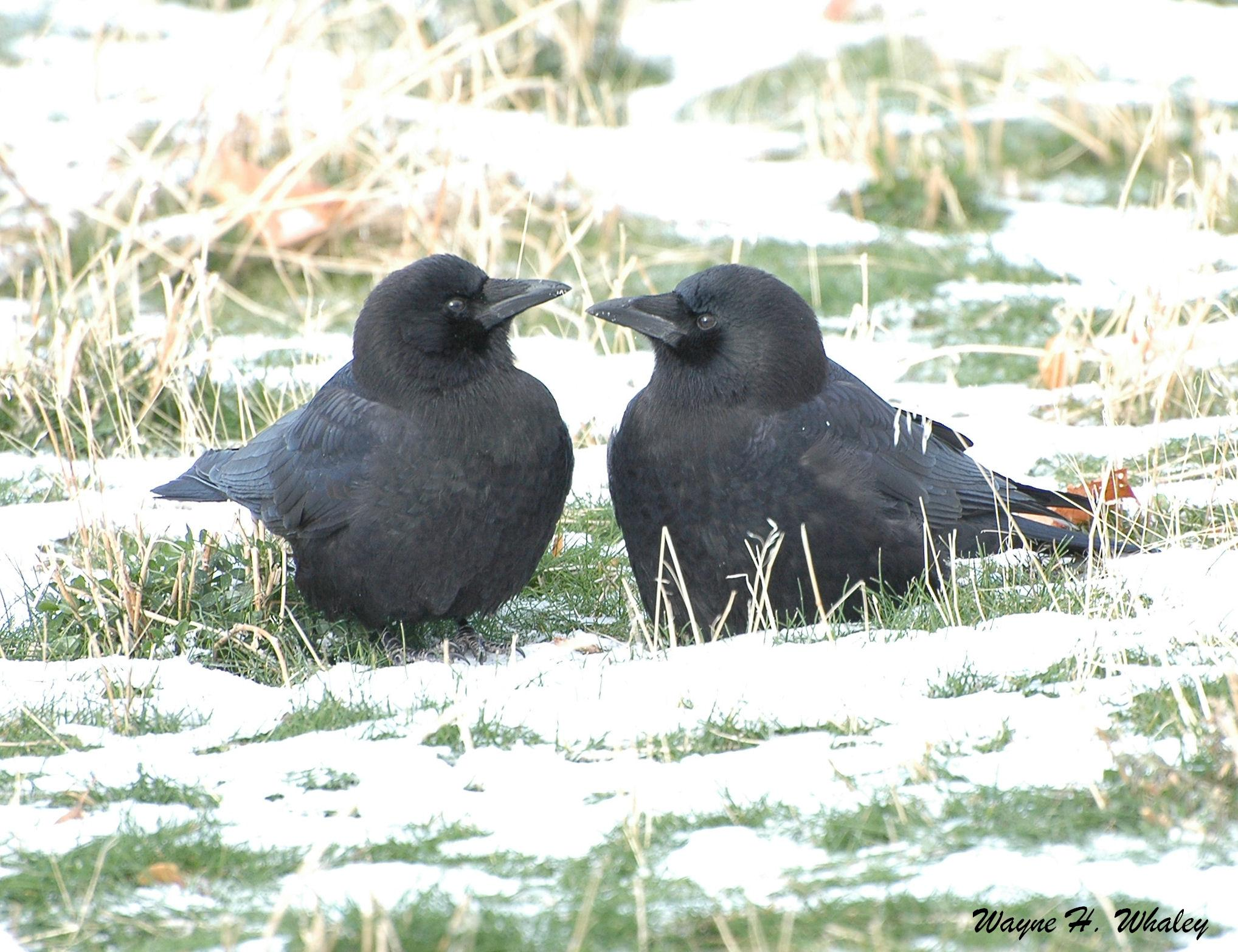 Raven vs crow vs grackle - photo#28