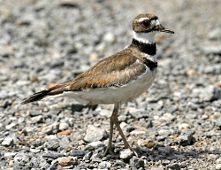 Killdeer, the bird that lives dangerously