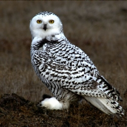 Click for a larger view of Snowy Owl in Alaska, Bubo scandiacus, Photo taken in Alaska by Floyd Davidson, Photographer, Courtesy Wikimedia and licensed through GNU Free Documentation License 1.2