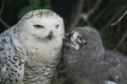 Click for a larger view of Snowy Owl with chick, Bubo scandiacus, Photo taken by Tony Hisgett, Photographer, Courtesy Wikimedia and licensed through the Creative Commons: Attribution 2.0 Generic License
