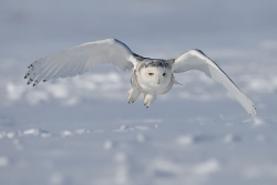 Click for a larger view of Snowy Owl in Alaska, Bubo scandiacus, Photo taken by Bert de Tilly, Photographer, Courtesy Wikimedia and licensed through the Creative Commons: Attribution-Share Alike 3.0 Unported License
