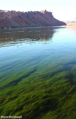Filamentous algae growing in the Colorado River near Lee's Ferry. Copyright 2011 Wayne Wurtsbaugh, Photographer