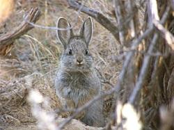 Pygmy Rabbit, Brachylagus idahoesis