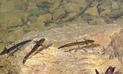 Tiger Salamander, Utah's only salamander, Ambystoma tigrinum, Courtesy Andrey Zharkikh, Photographer, licensed under CreativeCommons 2.0