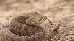 "Living in snake country – six things to consider: Western rattlesnake strike ready Courtesy 123RF.com Stephen Mcsweeny, Photographer <a href=""https://www.123rf.com/license_summary.php"" target=""newWindow"">Licensed, Royalty-free image</a>"