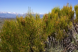 Ancient Native Plant Relationships: Ephedra, Ephedra viridis Coville