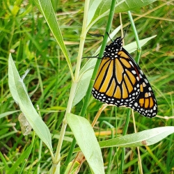 Monarchs: Freshly Emerged Monarch Butterfly Courtesy & © Amanda Barth, Photographer