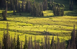 Yellowstone Elk's response to Wolves: Spring Elk Herd Courtesy Utah DWR, Tom Becker, Photographer