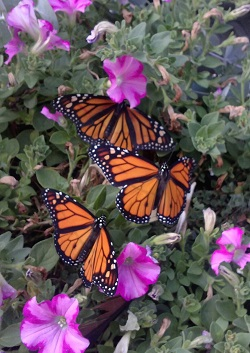 Monarch Butterflies, Courtesy and Copyright Becky Yeager, Photographer