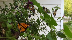 Monarch Butterfly, Tagged and Ready-to-go, Courtesy and Copyright Becky Yeager, Photographer