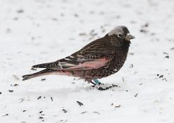 Black Rosy-Finch Courtesy & © Janice Gardner, Photographer